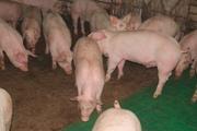 Продаем свинину живым весом (разновес)