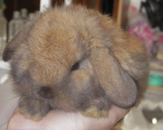 Вислоухие крольчата