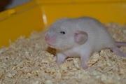 Крысята Дамбо Сиам, Бурмиз