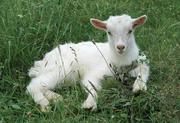 Продам натуральное козье молоко,  сыр,  творог и мясо