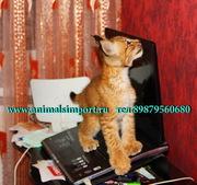 Продам котят Сибирской рыси(домашние).