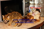 Продаются необыкновенные котята азиатской леопардовой кошки.
