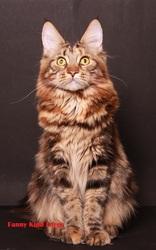 Питомник «Kind Force» предлагает котят Мейн-Кун