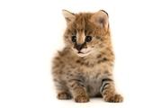 Продам котят степного сервала