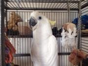 В продаже ручные и окольцованые птенцы  Желтохохлого какаду