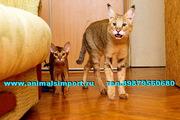 Продам котят Камышового кота