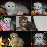 Британские ,  Шотландские котята