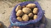 Картофель продовольственный опт от 20т в МО,  от 9 р/кг