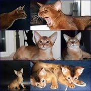 Чистокровные Абиссинские котята Американские линии