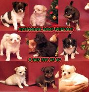 Чихуахуа щенки-высокопородные чудо малыши