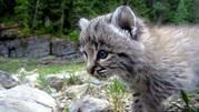 Продажа котят Канадской и Европейской рыси