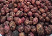 Картофель оптом от КФХ