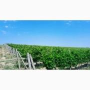 Продам виноград опт